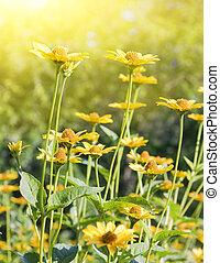marigolds in the garden