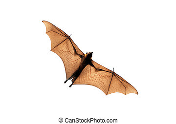 Flying fox isolated on white background