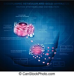 Endoplasmic reticulum and Golgi Apparatus Protein synthesis...