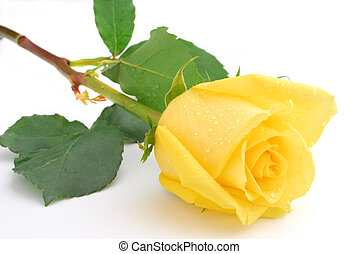 Yellow rose - Red rose studio isolated on white background