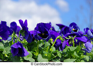 pansy 10