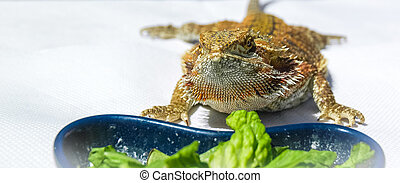 German Giant Bearded Dragon - Pet German Giant Bearded...