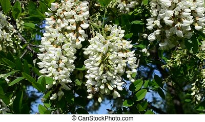 Beautiful black locust flowers swaying in breeze with bee -...
