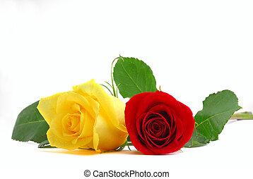 Roses studio isolated on white background