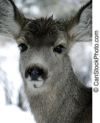 Bad Hair Day - Yearling Mule Deer with wet head on a snowy...