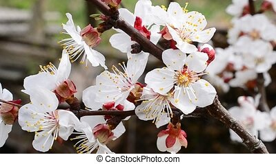 Blossoming apricot tree branch with many beautiful white flowers