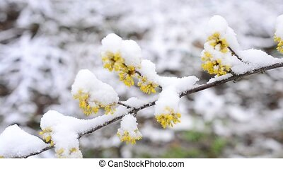 Snow falls on blooming Cornelian cherry twig - Snow falls in...