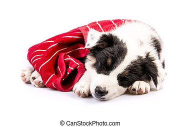 Cute Texas Heeler Puppy Sleeping - Cute Texas Blue Heeler a...