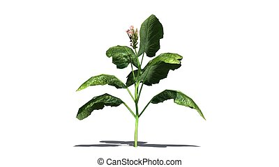 tobacco plant on white background
