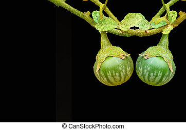 Thai green eggplant on tree on black background