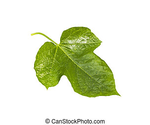 Passiflora foetida leaf isolated on white