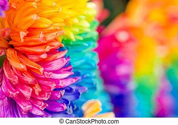 Colorful of rainbow Chrysanthemum flower, background...