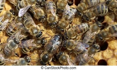 Queen Bee and Bees - Queen bee is always surrounded by the...