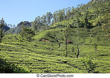 Tea Fields Nuwara Eliya Sri Lanka