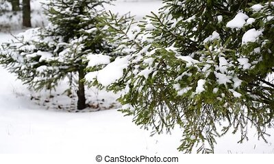Coniferous forest in winter on cloudy day - Coniferous...