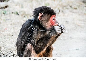 Monkey in Chains ,Vietnam - Young Brown Monkey in Chains...