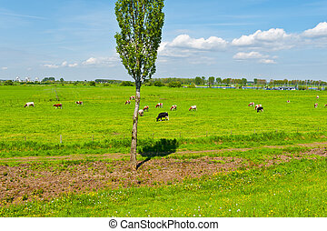 Floodplain - Cows Grazing in the Floodplain of the Rhine,...