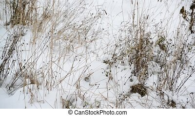 Weeds its way through the snow - Weeds its way through of...