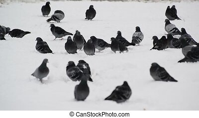 flock of pigeons on snow - a flock of pigeons on snow