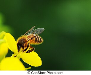 rape flower and bee in sunshine