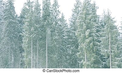 Snow falls on background of majestic evergreen fir trees