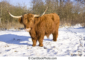 Scottish highlander in the snow licking his nose