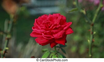 beautiful red rose on a green bush