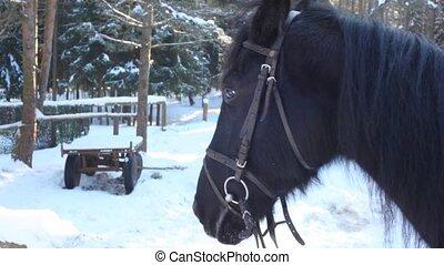 Horse eats snow