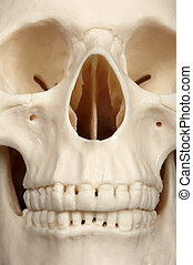 Facial part of skull close up - The facial part of the skull...