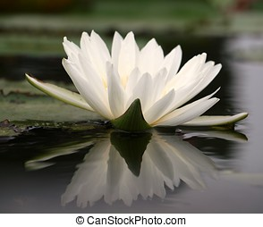 White Water Lily - A beautiful lotus flower in a pond with...