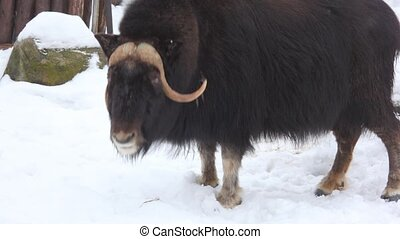 musk buffalo - Musk buffalo in winter