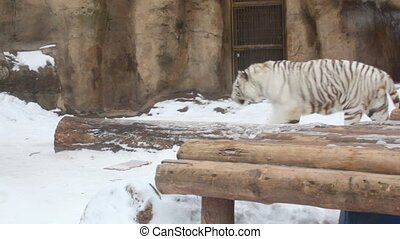 white tiger - White tiger in zoo.