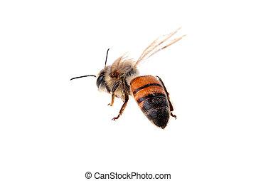 飛行, 蜜蜂