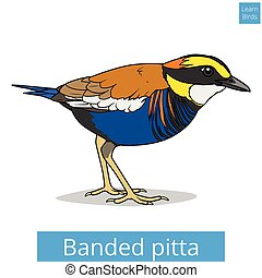 Banded pitta learn birds educational game vector - Banded...