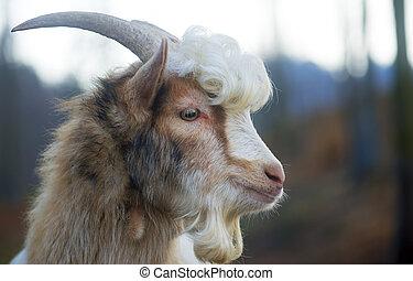 Furry, Farmyard, cabra, com, cacheados, cabelo, em, jardim...