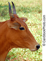 Indian, Cow\'s, Head