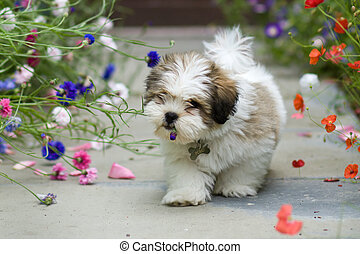 Lhasa apso puppy - Cute lhasa apso puppy chewing a flower