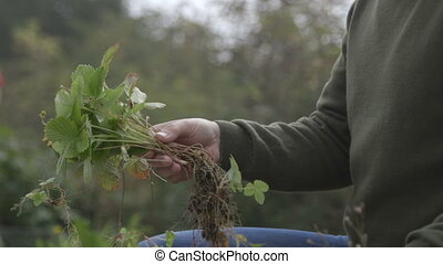 Preparing strawberries for replanting - Mature man removing...