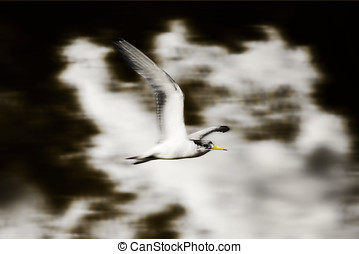 Bird flying in the clouds - With Grace A Crested Tern Bird...