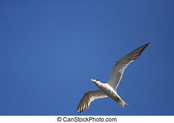 Flying Crested Tern - With Wings Spread A Crested Tern Bird...