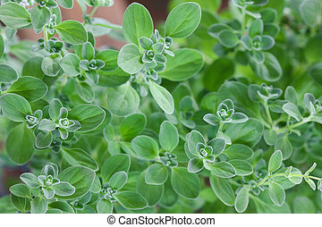 Home grown Marjoram in the garden - Closeup photo of home...