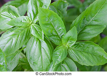 Home grown Italian Sweet Basil - Closeup photo of home grown...