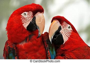 escarlata, rojo, papagallos