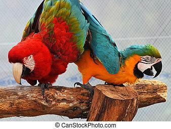 Macaw, papagaios, Dançar
