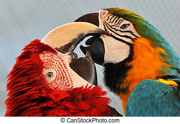 Macaws Loving - Two Macaw Parrots loving on each other