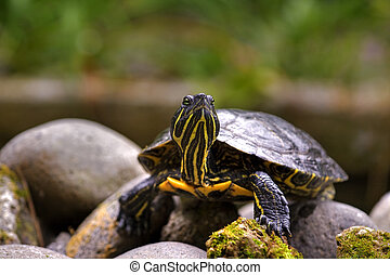 Eastern painted turtle - curios eastern painted turtle from...
