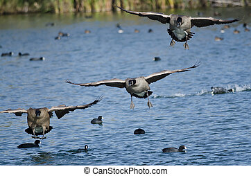 Canada Geese Coming in for a Landing on the Water