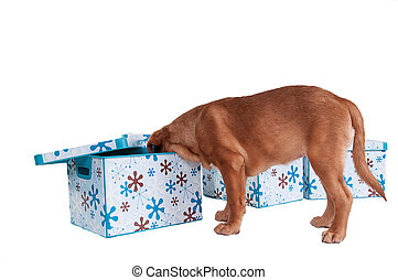 little dogue de bordeaux puppy - Who is hiding there - a...
