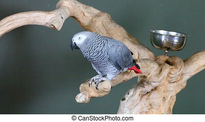 An African Grey Parrot, Psittacus erithacus