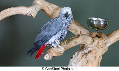 View of an African Grey Parroti - View of an African Grey...